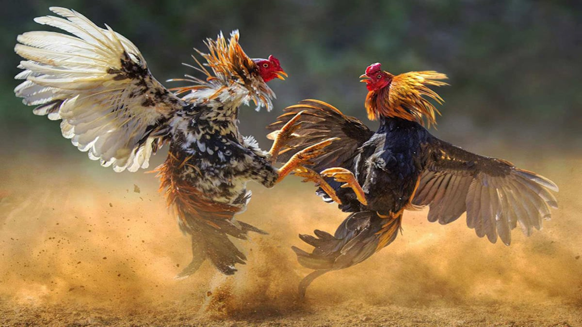 cock fight law trend